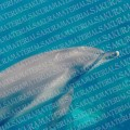 dolphin_01_sample