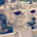 alpaca_02_sample