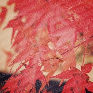 「紅葉01の」女子向け無料素材