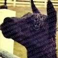 blackalpaca_02_sample