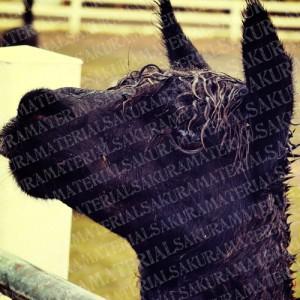 「黒のアルパカさん02」の女子向け無料素材