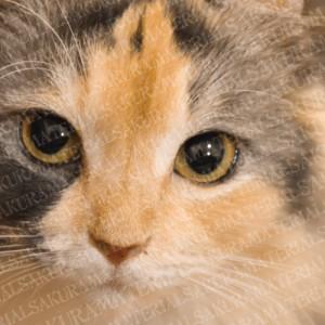 「ジーっと見てくる猫」の女子向け無料素材