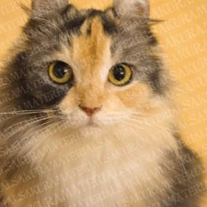 「ジーっと見てくる猫、遠目ver」の女子向け無料素材