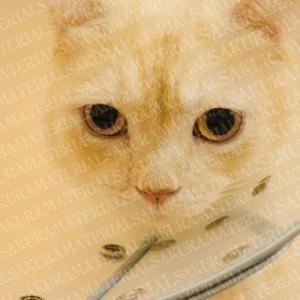 「スコティッシュフォールドの猫さん01」の女子向け無料素材