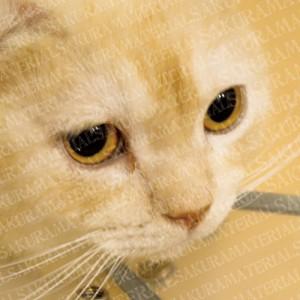 「スコティッシュフォールドの猫さん02」の女子向け無料素材