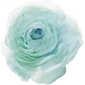 「ブルーのラナンキュラスの写真01」の女子向け無料素材