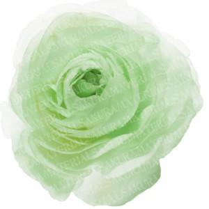 「グリーンのラナンキュラスの写真01」の女子向け無料素材