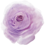 ranunculus_01_purple_sample