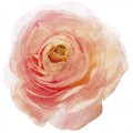 ranunculus_01_sample