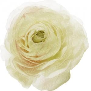 「白のラナンキュラスの写真01」の女子向け無料素材