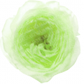 ranunculus_02_green_sample