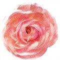 ranunculus_03_sample