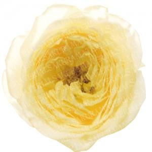 「黄色いバラの写真01」の女子向け無料素材